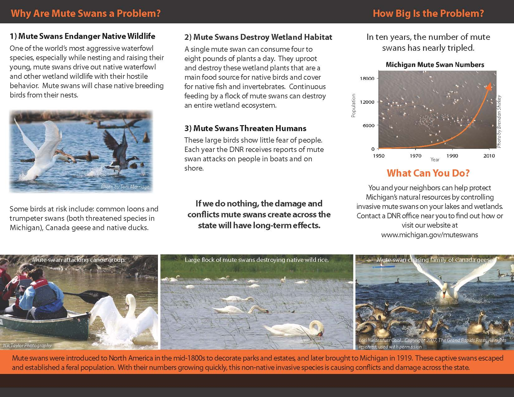 Why Are Mute Swans a Problem?
